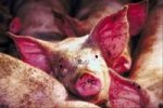 porcino-bueno