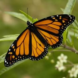 Monarch_Butterfly_17-03-2006_6-44-40_p.m.